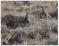 Female greater sage-grouse observed at a high-elevation mountain big sagebrush site, Inyo NF CA, photo by Chris Balzotti, Stanford Unive