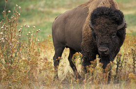 USDA photo by Jack Dykinga Fresh from the Field Bison