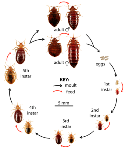 Life-cycle of a bed bug