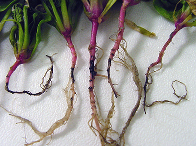 Spores on spinach roots reveal Fusarium fungus infection. Image provided by Washington State University.
