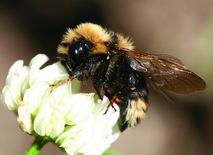 A bee gathers nectar from a flower. Photo courtesy of the US Forest Service