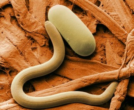 Soybean cyst nematode and egg SEM USDA photo Fresh From the Field NIFA Impacts