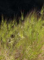 Medusahead USDA photo Fresh From the Field NIFA Impacts Wyoming