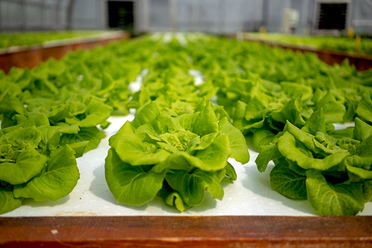 Hydroponic lettuce, image provided by University of New Hampshire.