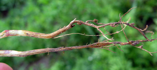 Photo of root rot in lentils by Mary Burrows, MSU.
