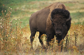 College are researching buffalo genetics to improve the health and sustainability of their tribal herds. (USDA photo by Jack Dykinga)