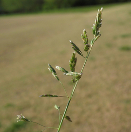 Annual bluegrass has developed resistance to common herbicides,. Photo by G. Breeden, courtesy UTIA.