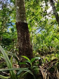 Brown root rot observed on trees in the Marianas. Photo courtesy of Meghan Borja.