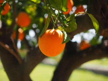 Orange tree image by Pixabay.