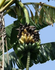 Wild banana. Pixaby photo. NIFA Impacts. Fresh From the Field. Hawaii.