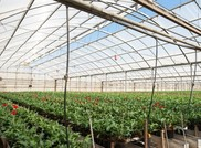 The Kitayama Brothers, Inc. hydroponic greenhouses use microirrigation with sterile reclaimed and recharge water.