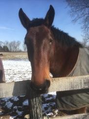 Bay horse in snow. Photo credit Falita Liles. USDA NIFA Impacts