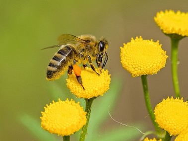 Beescape.org provides a tool for beekeepers, gardeners, growers and land managers. Image courtesy of Pixabay.