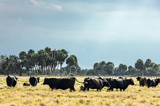 Cattle at the Seminole Ranch in Okeechobee, Image by  Anastasia Samoylova for Bloomberg Businessweek.