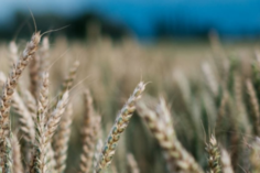 Image of wheat field, by Penn State University.
