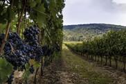 USDA NIFA Fresh From the Field. Virginia Vineyards.AdobeStock_207851273