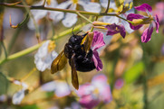Black bee pollinating a wild radish (Raphanus raphanistrum) flower . Getty Image. USDA NIFA