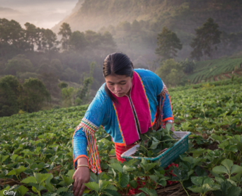 Woman working in a field picking leaves.image courtesy of Getty Images.