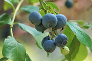 Bunch of ripe and raw blueberries on the branch of the tree and on the garden background, Spring in GA USA.