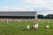 Landscape of chickens in a field in front of a green barn . Getty Images. USDA NIFA Impacts.
