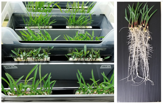 Sorghum seedlings are grown in special boxes for BNI characterization. Photo courtesy of Texas A&M AgriLife.
