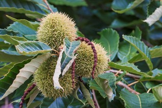 American chestnut fruits (Castanea dentata) GettyImages-596073964