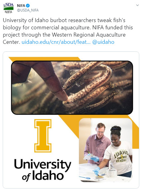 University of Idaho burbot research tweet graphic.