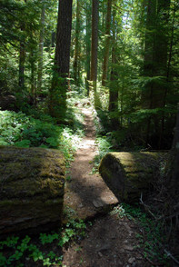 Oregon Coast Range old growth forest. Photo courtesy of Bev Law OSU College of Forestery.
