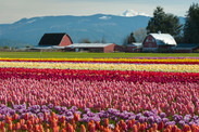 Vibrant fields of colorful tulips carpet the Skagit Valley, Washington. GettyImages-472009338