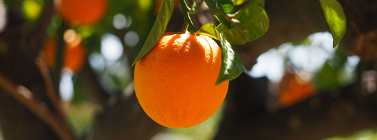 Orange tree image courtesy of PixaBay.