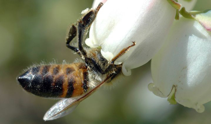 A honey bee visits a blueberry blossom, photo courtesy of Michigan State University.