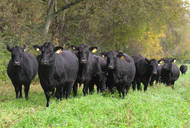 Photo of Black Angus at UT's East Tennessee AgResearch and Education Center courtesy UTIA.