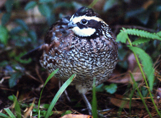 Well managed forests provide forbs, legumes andinsects that bobwhite quail need.