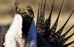 Image of a male sage grouse. Photo courtesy of BLM