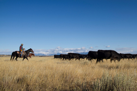 Photo of ranchers and cattle. Courtesy of the Sage Grouse Initiative