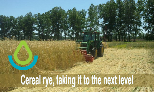 Cereal Rye
