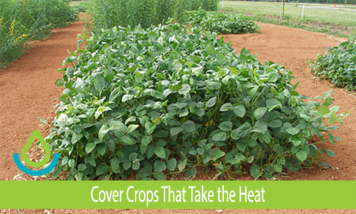 Banner image for Cover Crops That Take the Heat