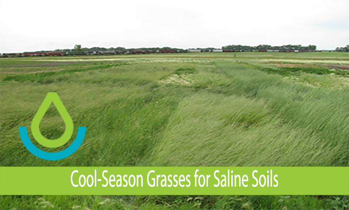 Carrington, ND saline site 6 years after seeding with cool-season perennial grass species