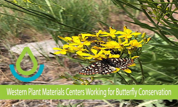 Butterflies Foraging in Pollinator Habitat