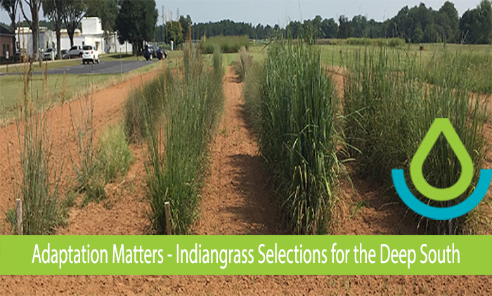 Indiangrass selections growing at JCPMC