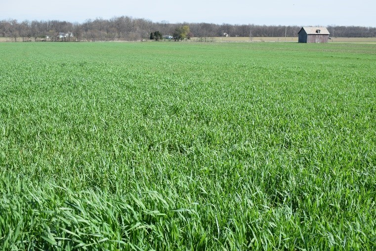 Green field of cover crops