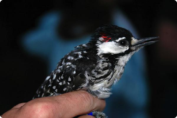 A red-cockaded woodpecker