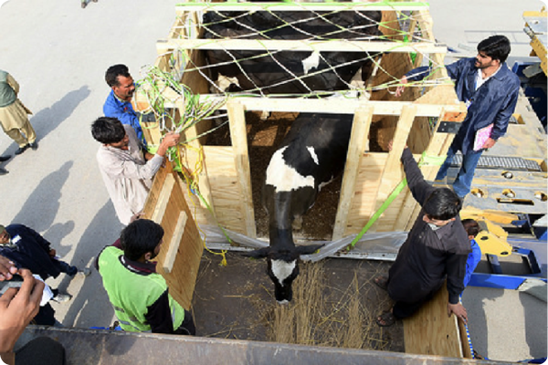 The first U.S. dairy cattle shipped to Pakistan in 17 years are loaded onto trucks for their journey to the FAS-supported demonstration farm at the Un