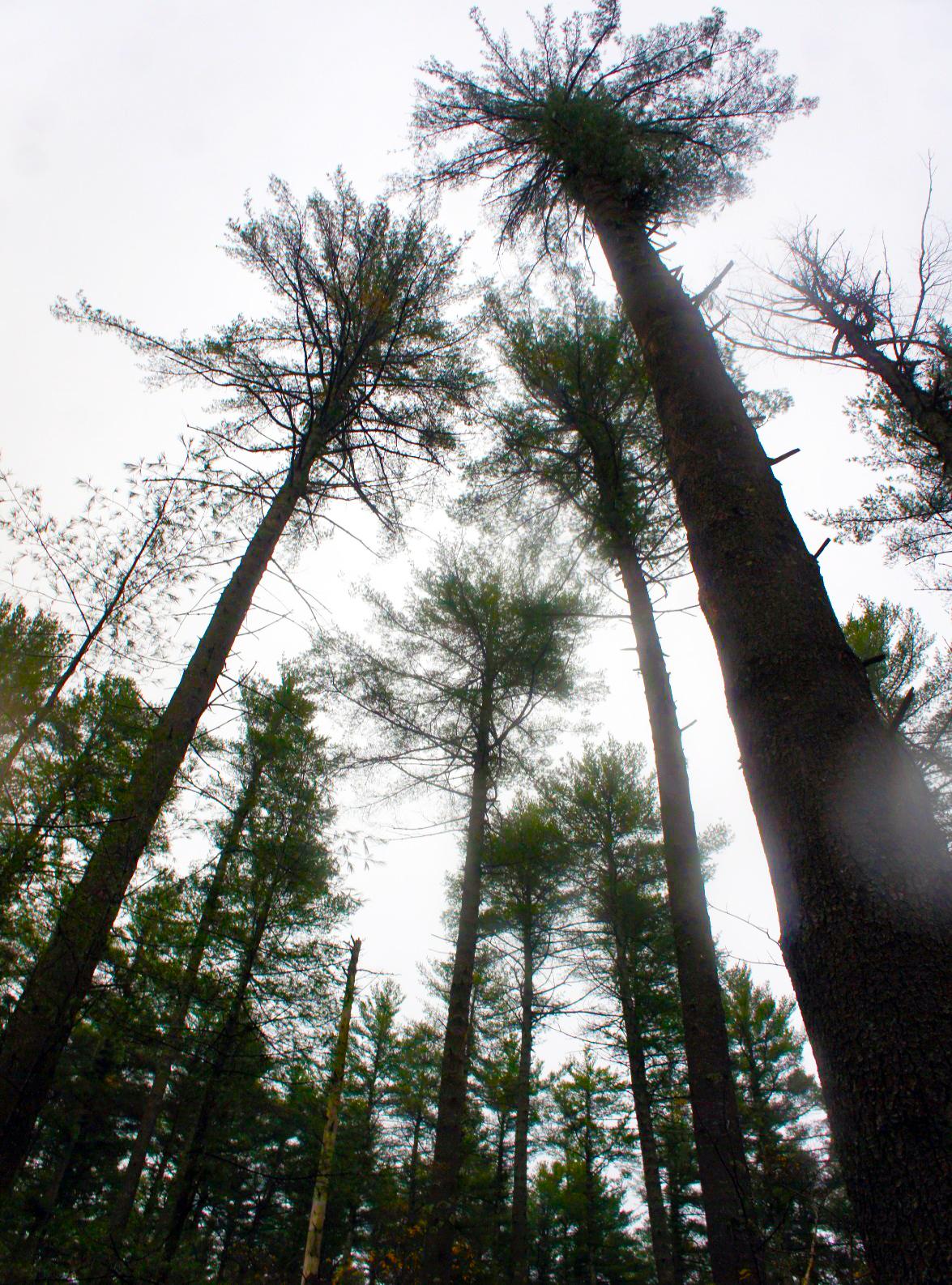 Large white pines