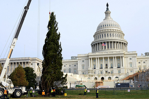 The U.S. Capitol Christmas Tree being hoisted from a very long tractor trailer