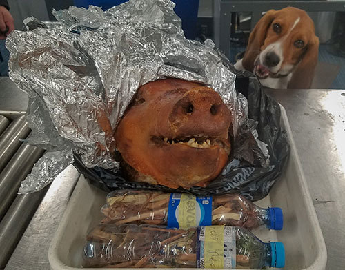 """Hardy, a member of the """"Beagle Brigade,"""" was trained by USDA's National Detector Dog Center in Newnan, GA. (Photo credit: Department of Homeland Security's U.S. Customs and Border Protection)"""