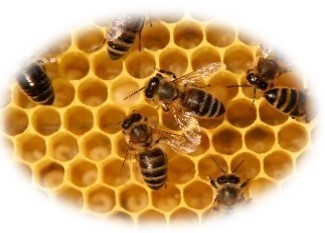 Photo of honeycomb with honey bees on it