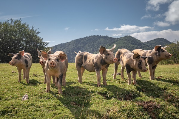 African Swine Fever is decimating herds of pigs across Asia and other countries around the world.