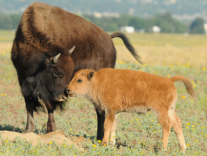 baby bison snuggling with momma bison