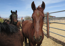 Wild horses from public lands. Photo by BLM.
